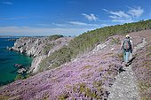 Hike on the GR 34 in the middle of the heather in bloom of the Crozon peninsula, Brittany, France
