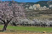 Almond blossoms in front of the castle of Loarre, Aragon, Spain