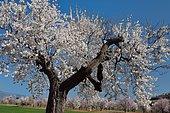 Almond blossoms, Riglos, Aragon, Spain