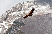 Griffon Vulture (Gyps fulvus) flying over its nesting area, Pyrenees Atlantiques, France