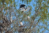 Gray heron (Ardea cinerea) in the heronry, Lac de Biron, Pyrenees Atlantiques, Fran