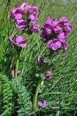Pyrenean Lousewort (Pedicularis pyrenaica) in bloom, Habitat: subalpine lawns, Pyrenees, Aragon, Spain