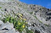 Large-flowered Leopard's Bane (Doronicum grandiflorum), Habitat: large block scree, Subalpine stage, Pyrénées, France