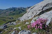 Soapwort (Saponaria caespitosa) in flower. Habitat: rocky lawns. Subalpine floor, Tena Valley, Pyrenees, Aragon, Spain