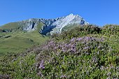 Heather in bloom at the Soulor pass, in the distance the limestone massif of Gabizos 2639m, Pyrenees, France