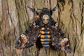 Death's-head Hawk-moth (Acherontia atropos) on wood, France