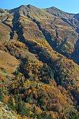 Narbèze beech-fir grove, Brown bear biotope, Pyrenees, France