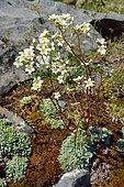 White moutain saxifrage (Saxifraga paniculata) in bloom in subalpine rocks, Aragonese Pyrenees, Spain