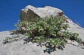 Pyrenean Honeysuckle (Lonicera pyrenaica) in bloom in subalpine limestone rocks, Aragonese Pyrenees, Spain