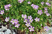 Ashy Cranesbill (Geranium cinereum) in rocky lawns on subalpine limestone, Pyrenees, France