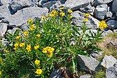 Groundsel (Senecio pyrenaicus) in subalpine rocky lawn, Pyrenees, France