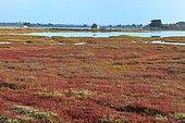 Salicornia meadow (Salicorna ramosissima), Ile d'Arz, Brittany, France