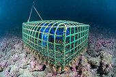Lobster trap placed on the plateau coralligenous of the Marine Protected Area of the Agathoise Coast, Hérault, Occitanie, France
