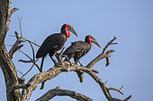 Southern Ground Hornbill couple perched in dead tree in Kruger National park, South Africa ; Specie Bucorvus leadbeateri family of Bucerotidae