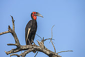 Southern Ground Hornbill (Bucorvus leadbeateri) on dead tree in Kruger National park, South Africa