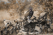 Lappet faced Vultur (Torgos tracheliotos) and white backed Vultures (Gyps africanus) on carcass in Kruger National park, South Africa