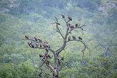Vautours africains (Gyps africanus) groupe sur un arbre mort sous la pluie dans le parc national Kruger, Afrique du Sud