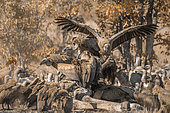 White backed Vulture (Gyps africanus) group scavenging giraffe's carcass in Kruger National park, South Africa