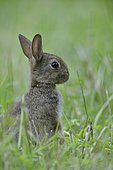 European rabbit (Oryctolagus cuniculus), young, Emsland, Lower Saxony, Germany, Europe