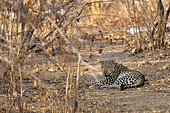 Léopard (Panthera pardus)mâle au repos, South Luangwa NP, Zambie