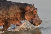 Hippopotamus (Hippopotamus amphibius) walking in the water in South Luangwa NP, Zambia
