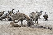 Spotted hyena (Crocuta crocuta), Hyenas eating a buffalo carcass in South Luangwa NP, Zambia