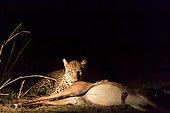 Leopard (Panthera pardus) female with prey (an impala), South Luangwa NP, Zambia
