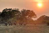 Family of African Savannah Elephants (Loxodonta africana africana) at dawn in South Luangwa NP, Zambia