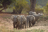 Family of African Savannah Elephants (Loxodonta africana africana) in South Luangwa NP, Zambia