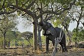 African savannah elephant (Loxodonta africana africana) eating, South Luangwa NP, Zambia