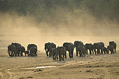 Family of African Savannah Elephants (Loxodonta africana africana) going to cross the Luangwa River, Zambia