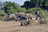 African savannah elephants (Loxodonta africana africana), the lion eventually stands up before the load of the right elephant, South Luangwa NP, Zambia