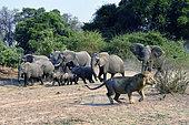 Eléphants de savane d'Afrique (Loxodonta africana africana), le lion finit par dégager devant la charge de l'éléphant de droite, South Luangwa NP, Zambie
