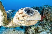 Portrait of a Loggerhead Turtle (Caretta caretta), off Kas, Marine Protected Area of Kas-Kekova, Turkey