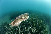 Common cuttlefish (Sepia officinalis) swimming above a posidonia seabed, Marine Protected Area on the Agathoise coast, Hérault, Occitanie, France