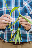 Testing the branching of an Oleander (Nerium oleander) twig: if it can bend, it is not branched.