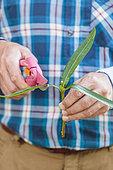 Prunings of an oleander (Nerium oleander)