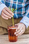 Prunings of an oleander (Nerium oleander) in water