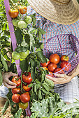 Man picking tomatoes in a vegetable patch in summer.