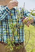 Taille de dynamisation d'un nectarinier (Prunus persica nectarina) peu vigoureux : homme raccourcissant les rameaux d'un nectarinier manquant de vigueur, pour le stimuler.