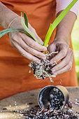 Femme montant une orchidée du genre Laelia sur une plaque de liège, en épiphyte. Montage d'un Laelia sur plaque de liège. Etape 2 : mise à nu des racines.