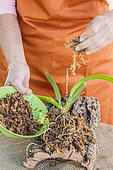 Woman posing an orchid of the genus Laelia on a cork board, as an epiphyte. Assembly of a Laelia on a cork plate. Step 4: application of sphagnum on the roots.