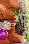 Femme montant une orchidée du genre Laelia sur une plaque de liège, en épiphyte. Montage d'un Laelia sur plaque de liège. Entretien de l'orchidée par pulvérisation d'eau de pluie.