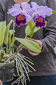 Handling of a Laeliocattleya 'Dinard Blue Heaven', orchid with large fragrant flowers.