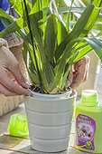 Woman bringing fertilizer to a potted orchid.