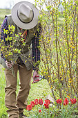 Man performing spring pruning on a forsythia after flowering.