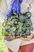 Woman holding a tray of Ivy-leaved cyclamen (Cyclamen hederifolium) for replanting in the garden.