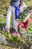 Woman planting an Ivy-leaved cyclamen (Cyclamen hederifolium) in a flower bed in spring