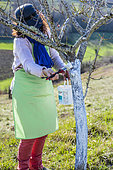 Woman applying an arboreal whitewash on the trunk of a peach tree in late winter.