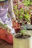 Femme taillant un groseillier (Ribes grossularia) cultivé en pot sur une terrasse, au printemps.